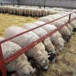 Sheep Rearing Scheme Telangana